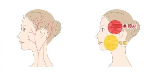 頭の毛細血管と筋肉