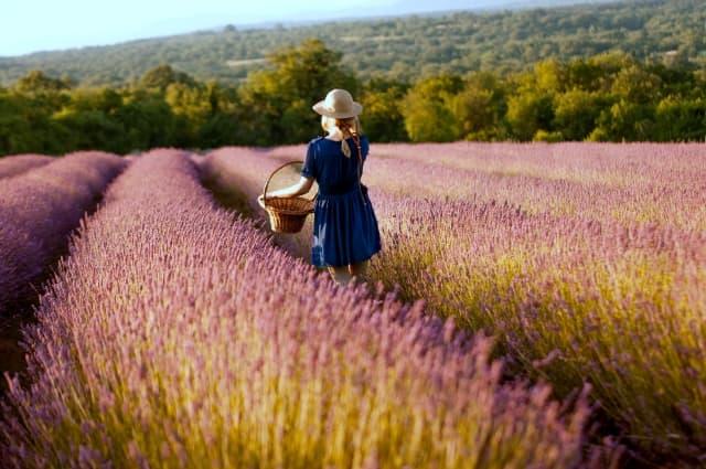 ラベンダー畑と女性の後ろ姿